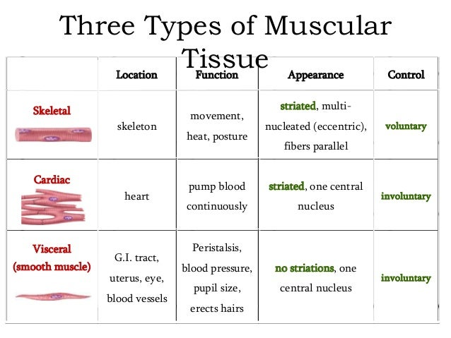 what is the function of muscle tissue Muscle: contractile tissue found in animals, the function of which is to produce motion movement, the intricate cooperation of muscle and nerve fibres, is the means.