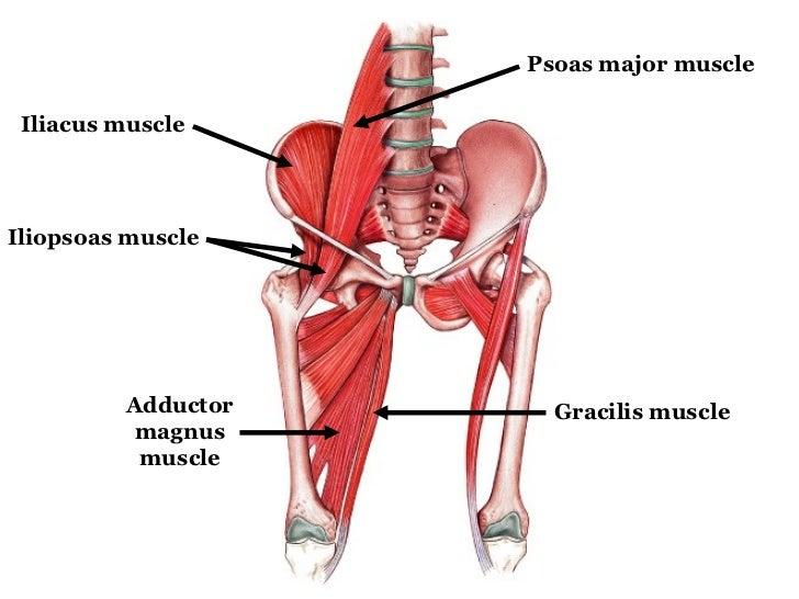 Iliopsoas Muscle Abdominal Diagram New Era Of Wiring Diagram