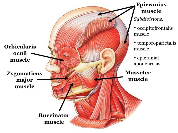 Labeled Head Muscles Project Awesome Photo Gallery Website With