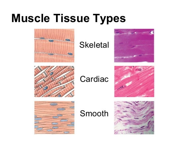 compare and contrast cardiac and skeletal muscle Compare and contrast muscular and skeletal system skeletal is the bones in you body there 3 types of muscels which is 1 is smooth 2 is skeletal 3 is cardiac.