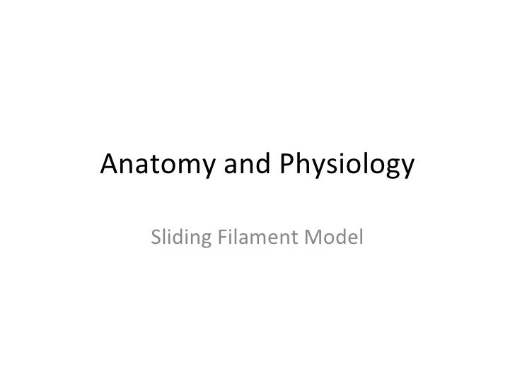Anatomy and Physiology   Sliding Filament Model