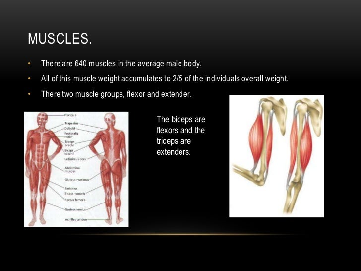 muscle presentation, Muscles
