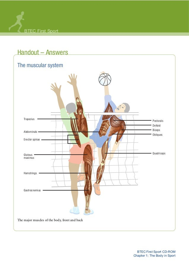 BTEC First Sport CD-ROM Chapter 1: The Body in Sport Handout – Answers The muscular system The major muscles of the body, ...