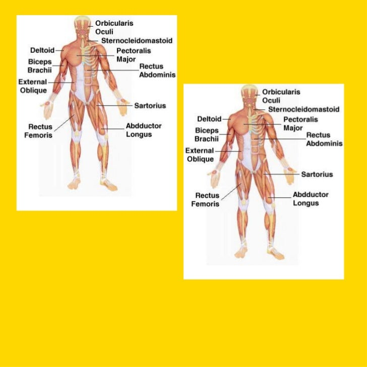 Muscle TypesCardiacSmoothSkeletal