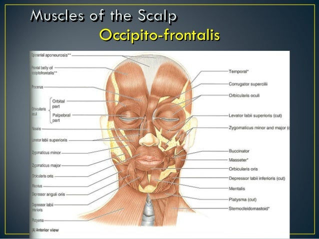 Muscles Of Face