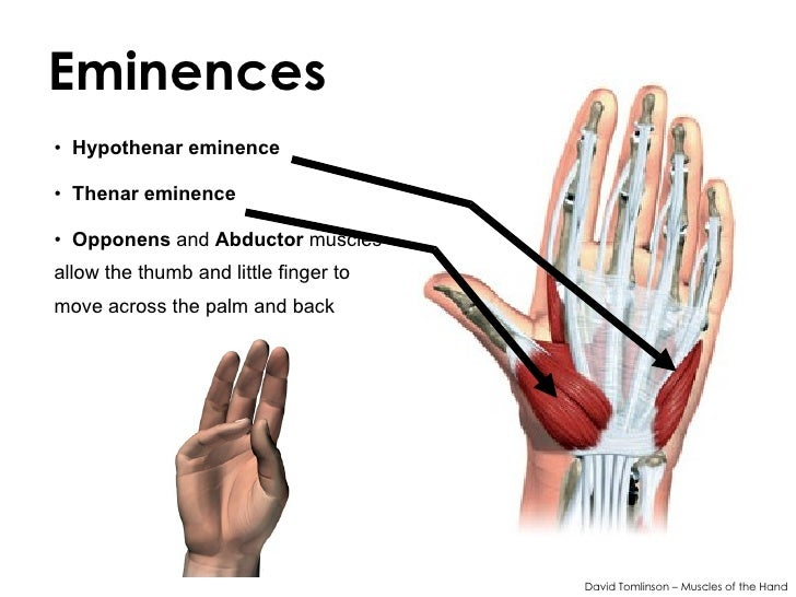 Muscles Of The Hand