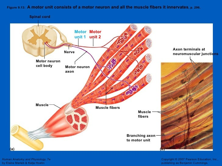 What is a motor neuron attached to for What is a motor neuron