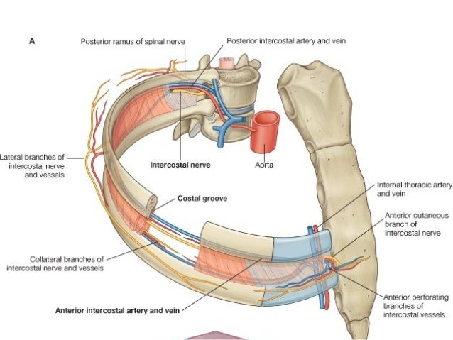 Muscles And Nerves In The Thoracic Wall