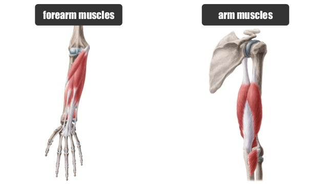 Muscles of the Arm | anatomy Kenhub