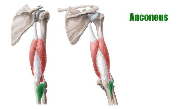 Muscles of the Arm | anatomy Kenhub