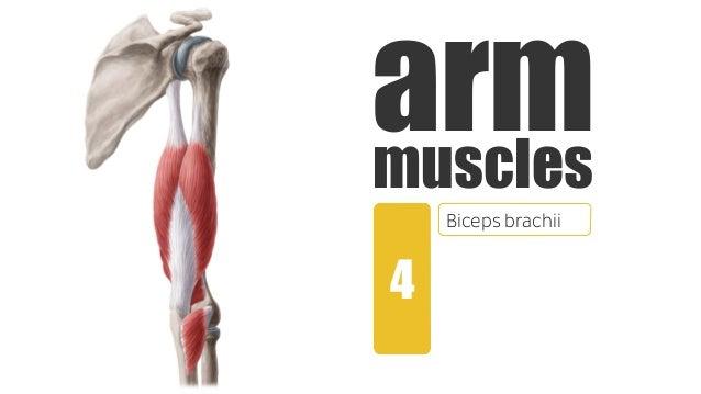 Muscles of the Arm   anatomy Kenhub