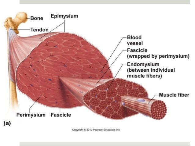 Anatomy Physiology Lecture Notes Muscles Muscle Tissue