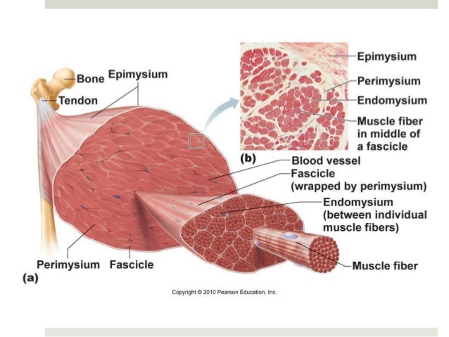 Anatomy & Physiology Lecture Notes - Muscles & muscle tissue