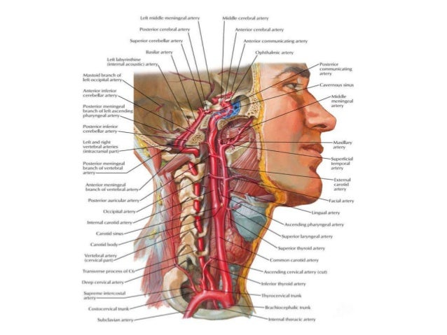 Muscles Of Face Neck And Tongue