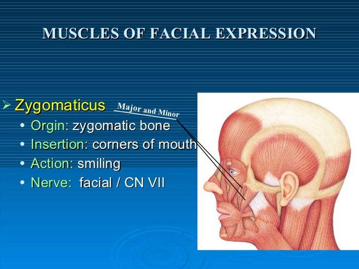 Muscles for facial expression