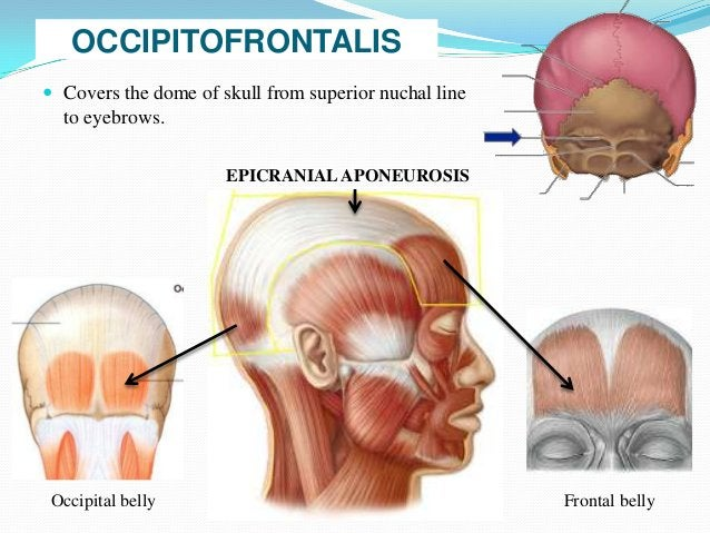 EPICRANIAL APONEUROSIS Loosely attached to periosteum Tightly attached to skin         S                                ...