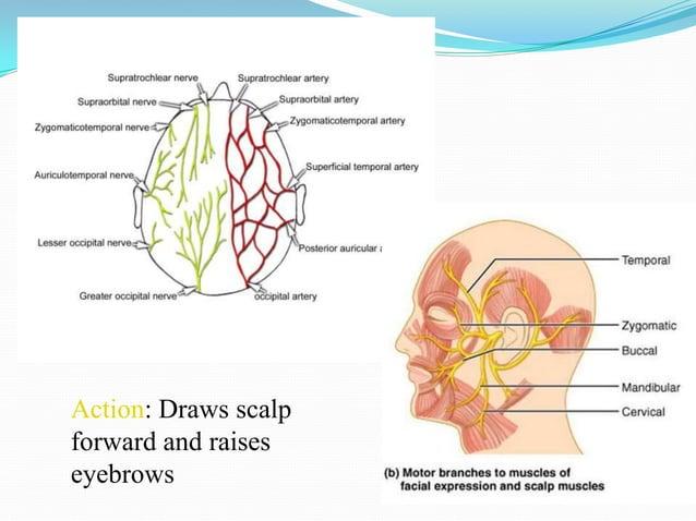 ORBICULARIS OCULI Broad, flat, elliptical muscle 3 parts1.   Orbital part2.   Palpebral part3.   Lacrimal part