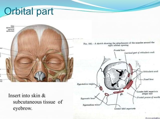Lacrimal part