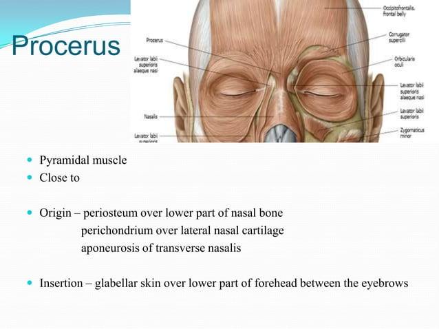 procerus Nasalis                                                  Transverse2 parts –                                     ...