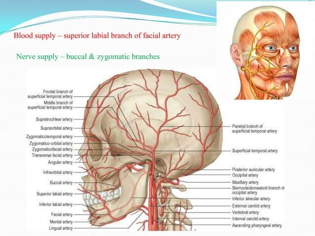 Blood supply –branches of facial artery              infraorbital branch of maxillary arteryNerve supply – buccal& zygomat...
