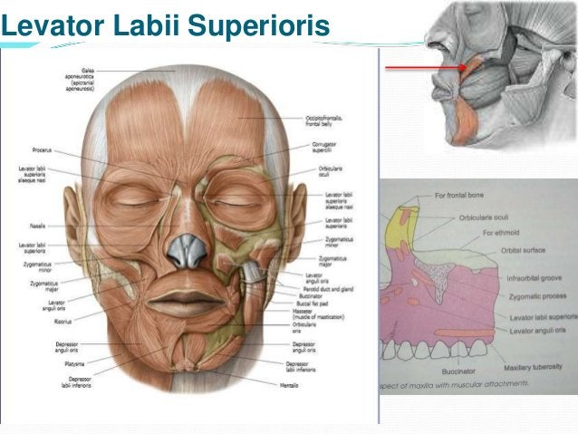 Blood supply – superior labial branch of facial arteryNerve supply – buccal& zygomatic branches Actions – 1. Elevates & ev...