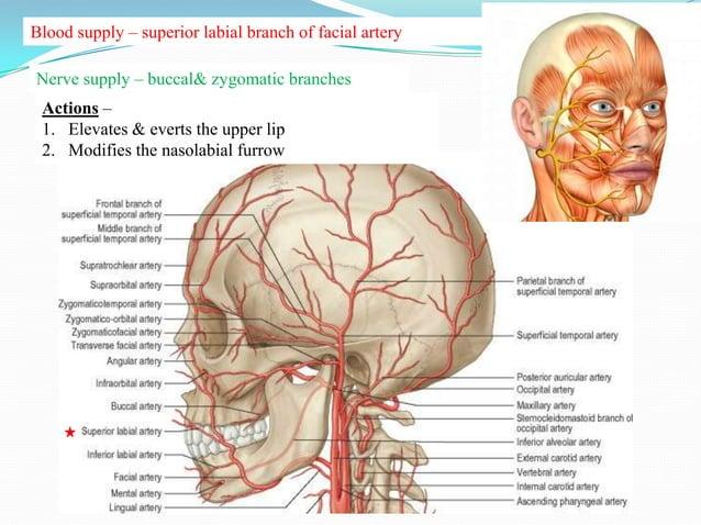 Blood supply – superior labial branch of facial artery               infraorbital branch of maxillary arteryNerve supply –...