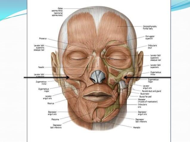 Blood supply – inferior labial branch of facial artery               mental branch of maxillary arteryNerve supply – margi...