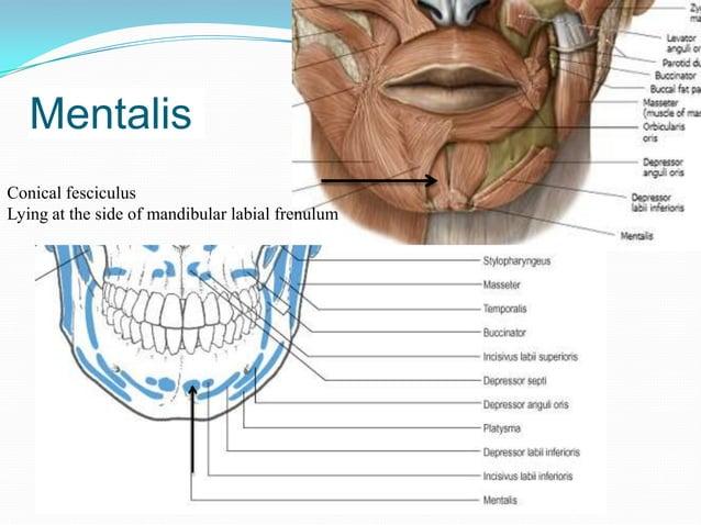 Blood supply – inferior labial branch of facial artery               mental branch of maxillary arteryNerve supply – lower...
