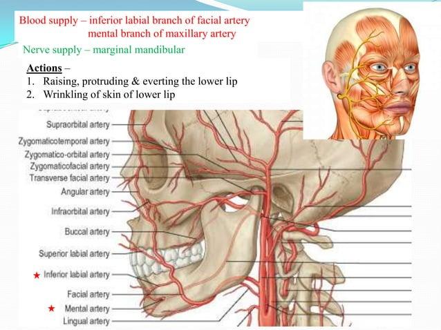 Buccinator Muscle of cheek Quadrilateral Between maxilla & mandible 3 parts-1. Upper fibers2. Middle fibbers3. Lower f...