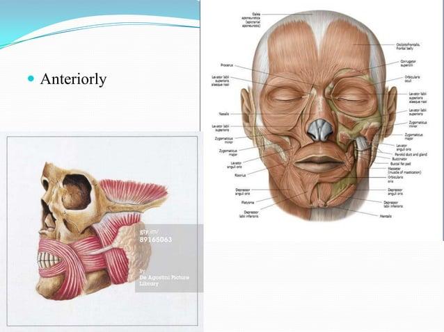 Platysmapars mandibularispars labialispars modiolaris