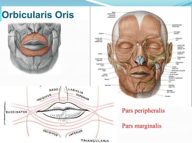 Blood supply – superior labial branch of facial artery               mental branch of maxillary arteryNerve supply – bucca...
