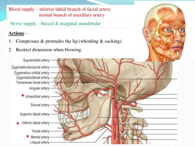 Functional Grouping Of Facial Muscles    Opening            Sphincter                       DilatorPalpebral fissure   Orb...