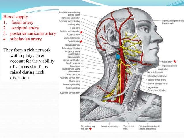 Dilator naris & depressor septii                                   Depressor anguli oris