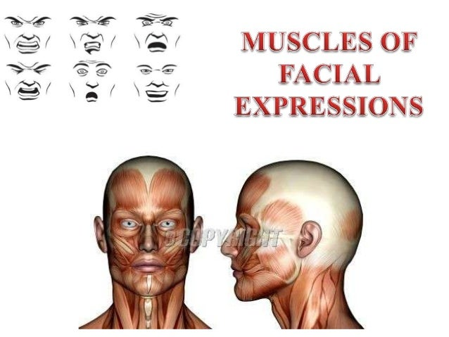 Muscles Of Facial Expression 18793158