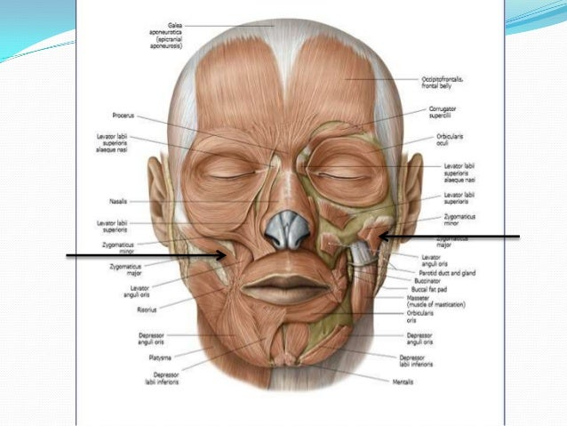 muscles of facial expression, Human Body