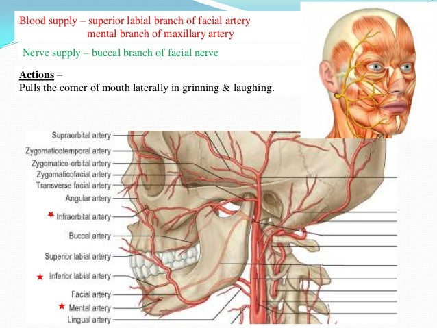Diagram Of Facial Expression Muscle Smiling - Block And Schematic ...