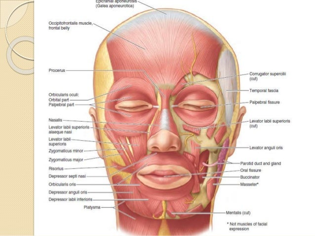 muscles of facial expressions, Human Body