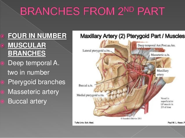 Muscles of mastication and maxillary artery
