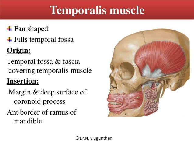 Muscles Of Mastication Tmj Drngunthan