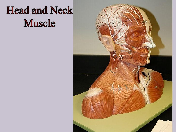 Muscles of the scalp: Occipito-frontalis •Origin: occipital belly from the highest nuchal line. Frontal belly from the ski...