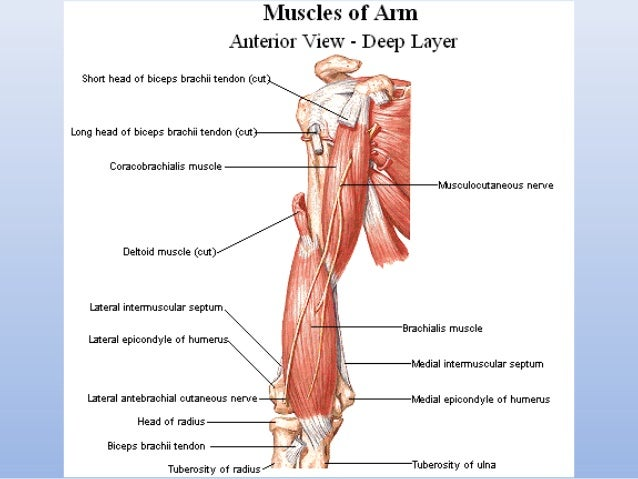 Muscles and topography of the upper and lower limb muscles ccuart Image collections