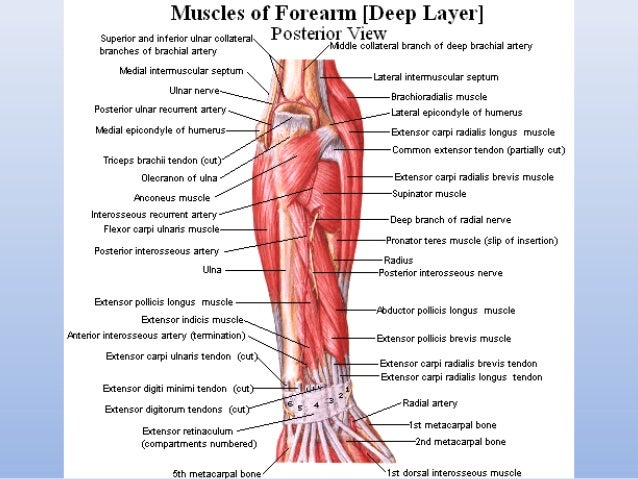 muscles of the upper and lower limbs How can the answer be improved.