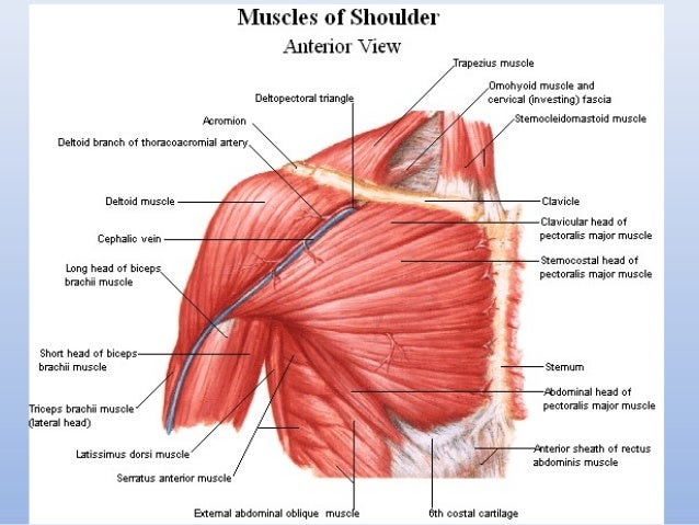 Muscles And Topography Of The Upper And Lower Limb
