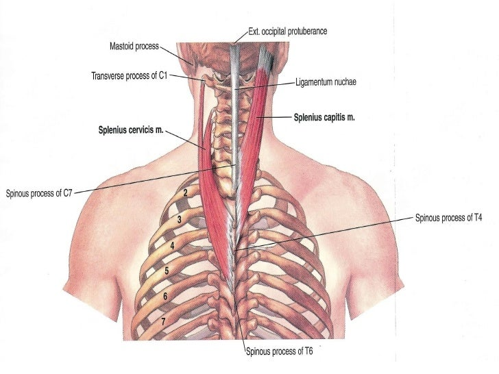 Muscles Of The Neck 1