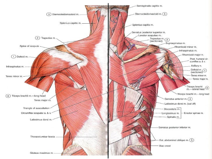 Cat Shoulder Back Regions Muscles