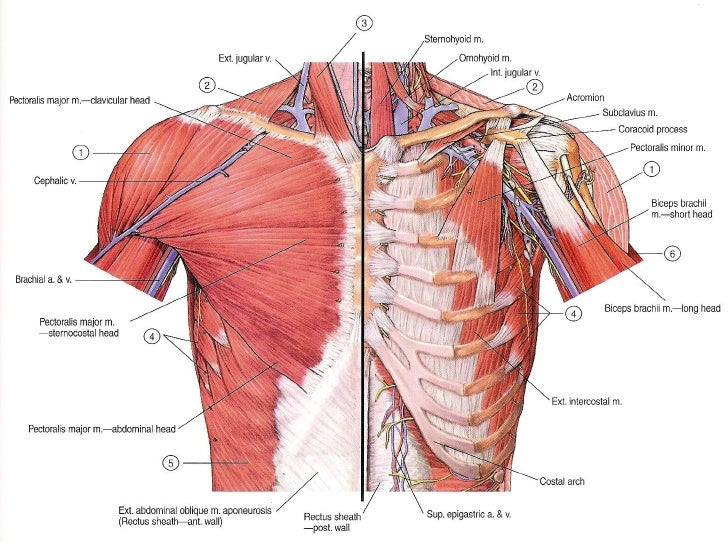 muscles of the pectoral region, Human Body