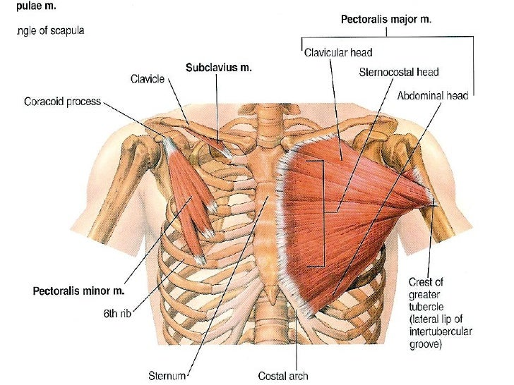 Muscles Of The Pectoral Region