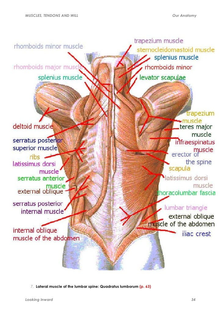 Muscles Tendons And Will