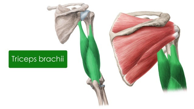 Muscles Of The Upper Arm And Shoulder Blade Anatomy Kenhub