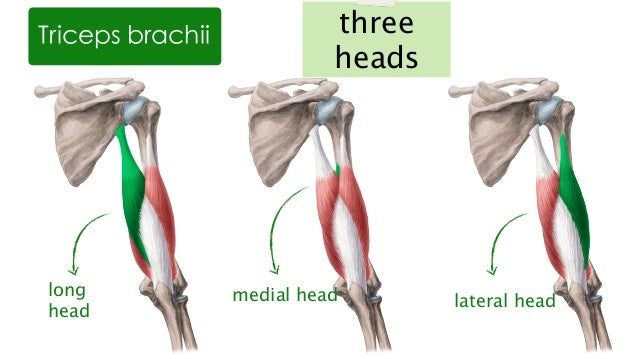 Muscles of the Upper Arm and Shoulder Blade | anatomy Kenhub